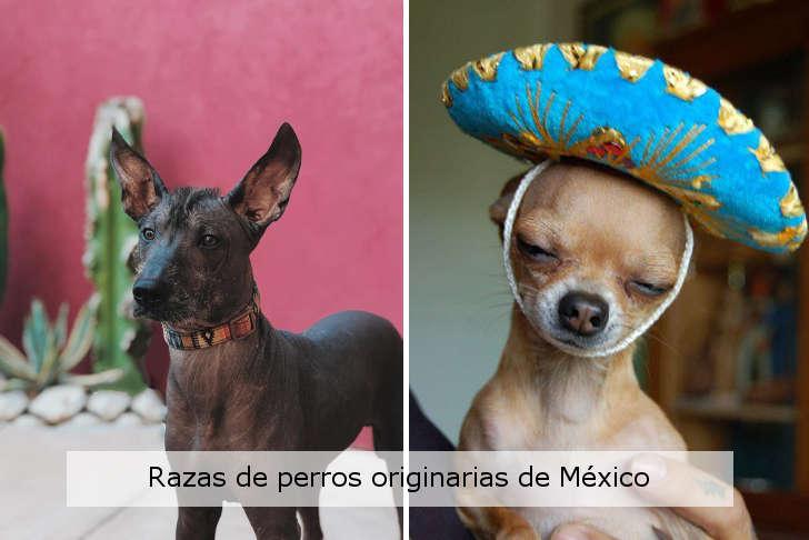 razas de perros originarias de mexico
