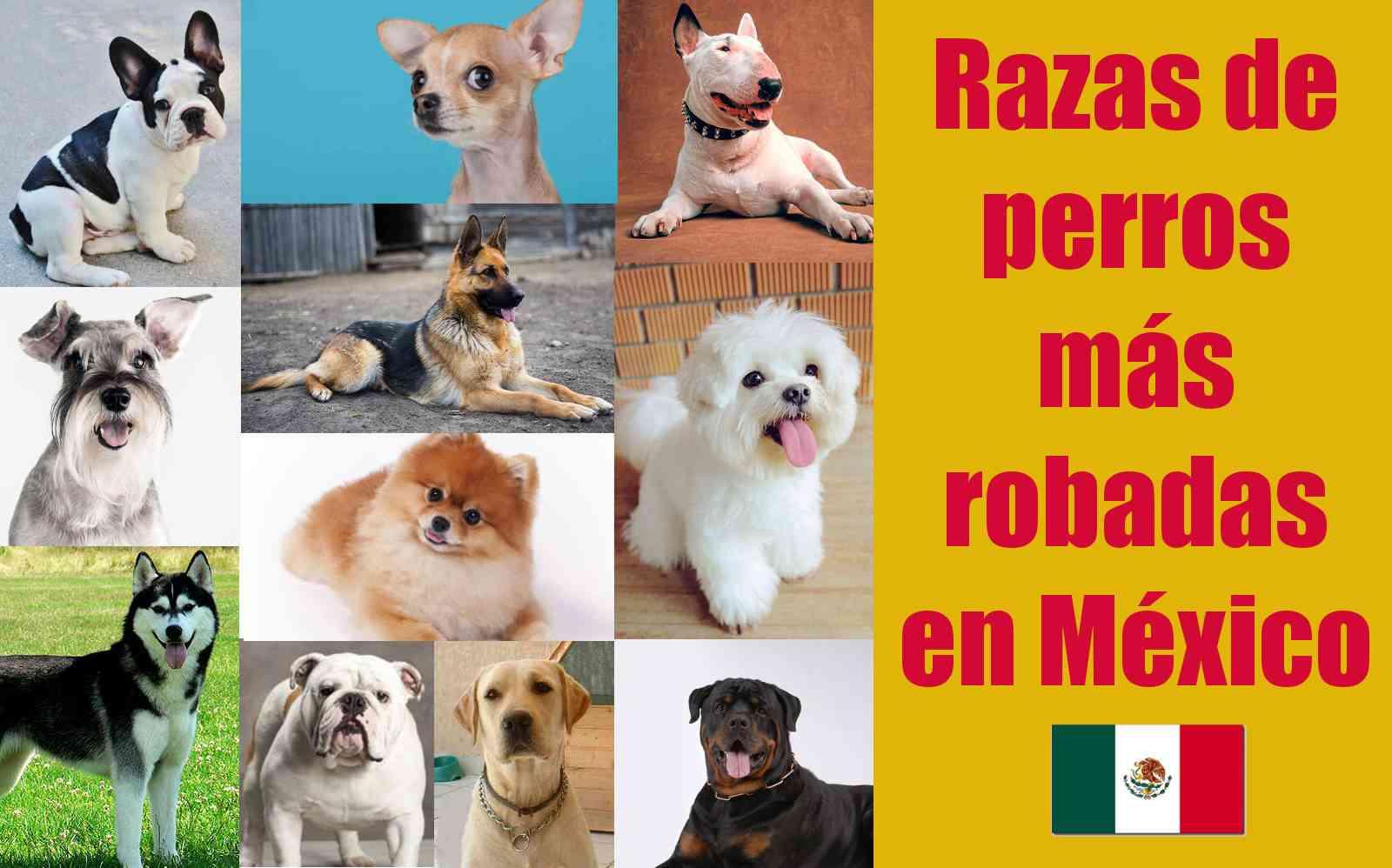 cuales son los perros que más roban   en mexico