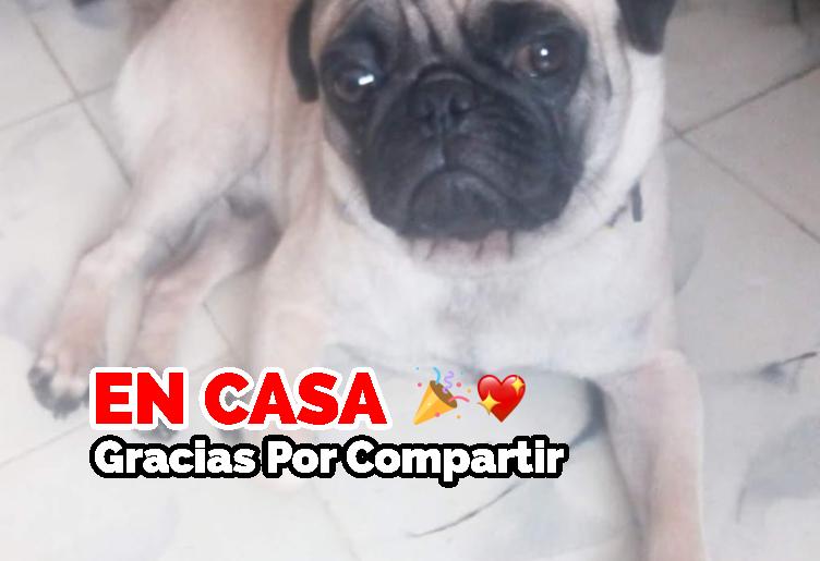 Perrito Raza Pug perdido en Mérida Yucatán, responde al nombre de chato se perdió en la Colonia Jardines de Mérida el Jueves 9 de Enero de 2020, traía un collar desgastado.
