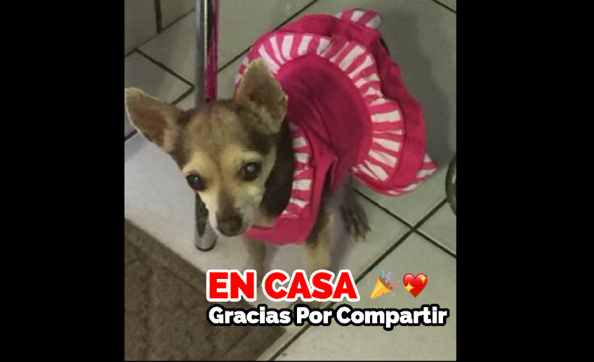 Gotzila se extravió el 19 Febrero 2020 en Cd. Juárez, Chihuahua, es de raza Chihuahua, Trae collar rosa. Tiene cataratas es sus dos ojos! Casi no ve. Se ven sus dos ojitos casi blancos. Ya es grande de edad.