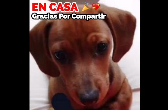 Floky Se perdió en Morelia, Michoacán el Viernes 13 de Marzo de 2020. 3 meses. de edad, Tiene una manchita blanca en el pecho.