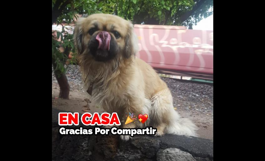 Loki se perdió en la Colonia Morelia, Michoacán el Viernes 6 de Marzo de 2020 Tiene 2 años y 1 mes de edad.